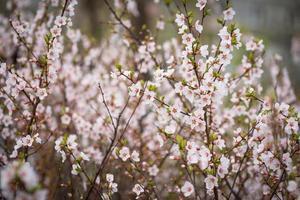 Kirschblüten. foto