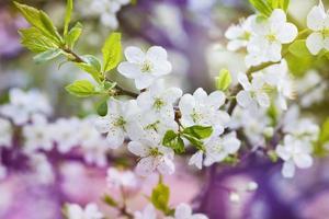 Blütenkirschzweig, schöne Frühlingsblumen für Weinlesehintergrund foto