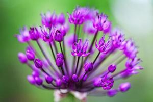 einzelne Alliumblume mit hellviolettem Kopf auf einem Garten foto