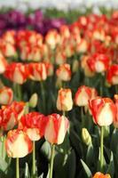 Tulpe foto