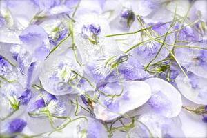 kandierte violette Blüten mit Stiel auf weißem Hintergrund foto