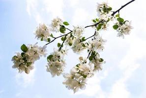 blühender Zweig des Apfelbaums gegen den Himmel
