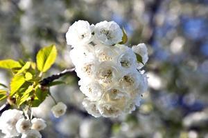 Nahaufnahmezweig der Blüte im Frühjahr