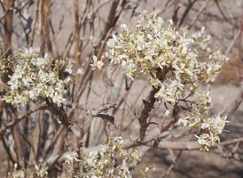 Jasmin in voller Blüte