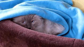 schöne Ragdoll Katze versteckt sich unter einer Decke foto