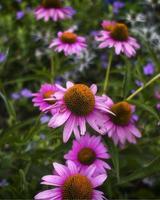 Nahaufnahme von lila Sonnenhut foto