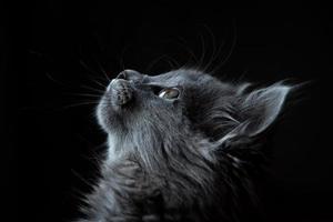 graue Katze auf schwarzem Hintergrund
