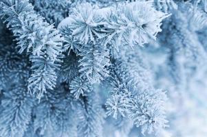 Hintergrund mit schneebedecktem Tannenzweig.