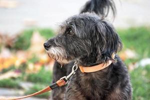 Nahaufnahme grauer Hund im Freien