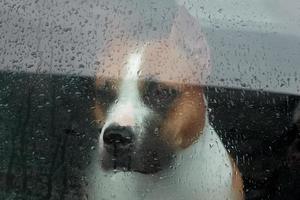 Hund sitzt in einem Auto und schaut durch das Glas foto