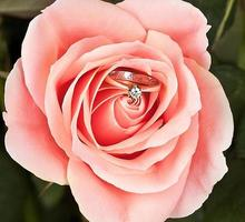 Ehering in rosa eleganter Rose foto