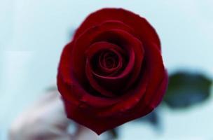 Draufsicht auf rote Rose