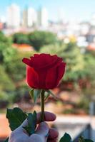 rote Rose im städtischen Stadtumfeld foto