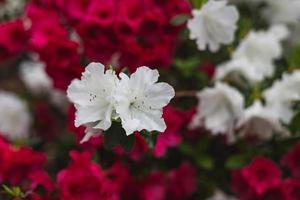 Nahaufnahme von roten und weißen Blumen