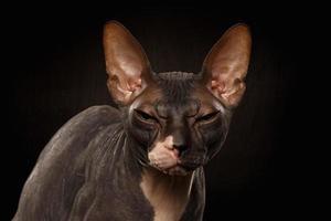 Nahaufnahmeporträt der mürrischen Sphynxkatze Vorderansicht auf Schwarz foto