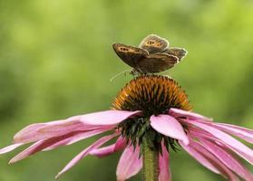 Torhüter Schmetterling auf einem Sonnenhut foto