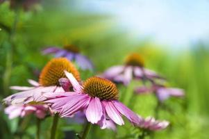 Echinacea foto