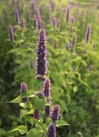 blühende Blume (Riesenhyssop) foto