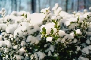 Schnee auf Blättern foto