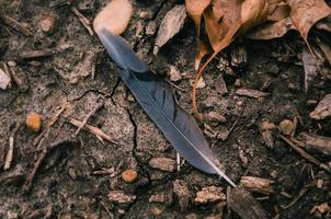 schwarze Feder, umgeben von getrockneten Blättern foto