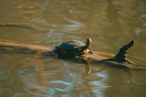 braune Schildkröte auf Zweig im Wasser foto