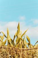 ein minimalistisches Getreidefeld foto