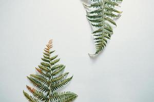 Farnblätter über einem weißen Hintergrund