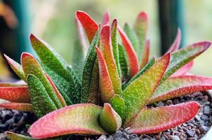 Aloe Vera Pflanze Tontopf drinnen für dekorative Zwecke foto