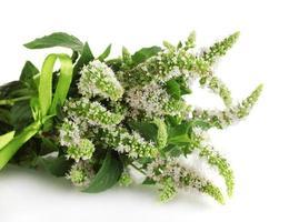 frische Minze mit Blumen, lokalisiert auf Weiß foto