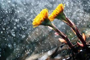 Huflattich, Frühlingsblumen foto