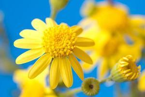 zarte leuchtend gelbe Blumen auf einem blauen Hintergrund foto