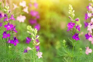 blaue und rosa Ritterspornblüten foto