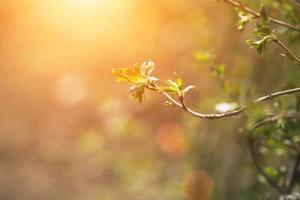 Zweig der schwarzen Johannisbeere im Frühjahr