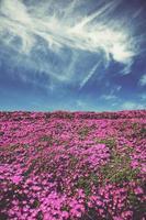 rosa Blumenfeld unter blauem Himmel