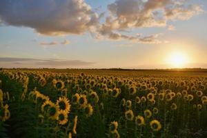 Feld der Sonnenblumen bei Sonnenuntergang