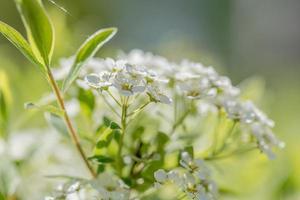 weiße Blüten am Busch foto
