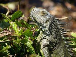 grüner Leguan im Gebüsch foto