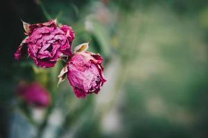 rosa Blütenblatt