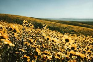 Gänseblümchenfeld während des Tages