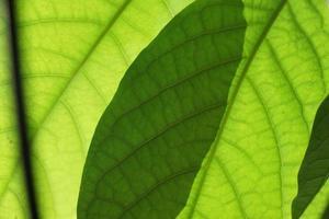 grüne Mangoblätter foto