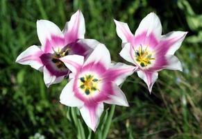 Nahaufnahme von weißen und rosa Tulpen