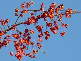 rote Beeren auf einem Ast