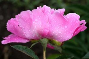 Tautropfen auf eine rosa Blume foto