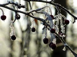 Eis auf einem Beerenbaum
