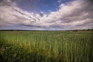 Panorama eines Weizenfeldes foto