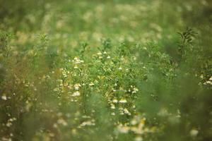 Feld der Kamillenblüten foto