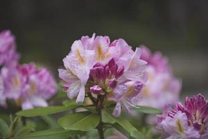rosa und weiße Blume in der Neigungsverschiebungslinse foto