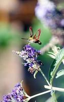 Kolibri-Falkenmotte auf lila Blüten foto