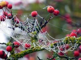 Spinnennetz und rote Beeren