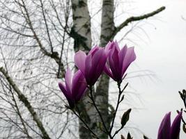 lila Magnolienblüten foto